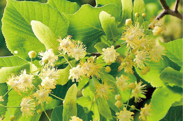 ボダイジュ葉、花(リンデン)